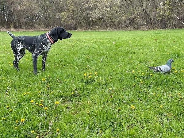 What Do I Need to Train a Bird Dog